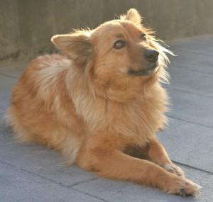 Junger Garafiano: man sieht den Hunden die Liebenswürdigkeit und Neugier an. Foto: La Palma 24