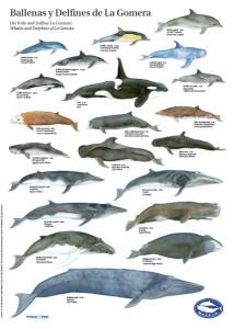 Plakat des Vereins M.E.E.R.: Wale und Delfine in den Meereswelten um La Gomera.