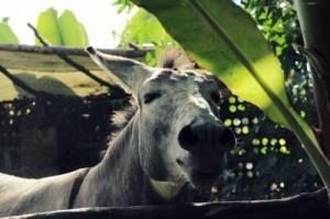Esel Pancho: Hauptattraktion zwischen den krummen, gelben Dingern. Foto: Janett/Teilzeitreisender.de