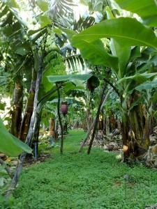 Gepflegte Öko-Bananen-Finca in Puerto Naos: überall grünt es. Foto: Ecofinca Platanológco/Fran