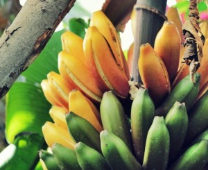 """Sehen lecker aus: sogenannte """"rote Bananen"""" von der Biofinca. Foto: Janett"""