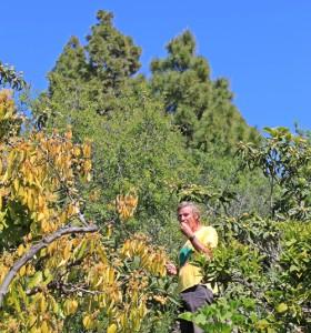 Mispeln direkt vom Baum: Manni verkostet die Früchte für seinen Nispero-Likör. Foto: La Palma 24