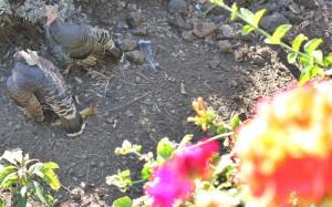 Federvieh im Garten der Tasca Catalina: Gäste haben was zum Schauen. Foto: La Palma 24