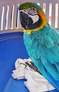 Fundación Neotrópico auf Teneriffa hat alle Hände voll zu tun: Immer mehr exotische Tiere werden ausgesetzt. Foto: Stiftung Neotrópico