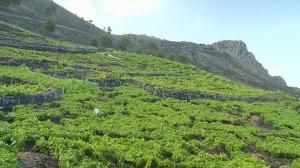 Roque de Teneguía im Süden: Hier wächst der Malvaiser. Foto: Teneguía