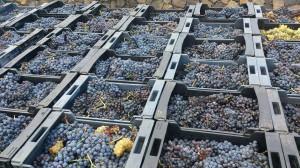 Weinlese 2014: auch bei den roten Trauben war die Ausbeute sehr gut. Foto: DO-Kontrollrat