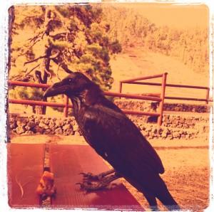 Grajas auf La Palma: Fast schon zum Wappenvogel der Insel avanviert, aber in Gefahr. Foto: La Palma 24