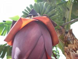 Bananen-Abfälle: sollen künftig in Anlagen rings um die Insel komposiert werden. Foto: La Palma 24