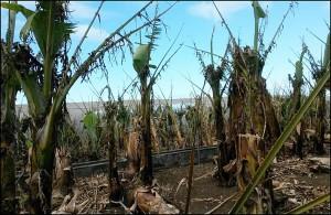 Sturmböen am vergangenen Wochenende bis zu 129 Sachen im Westen: massive Schäden auch in den Plátanos. Foto: Agroseguro