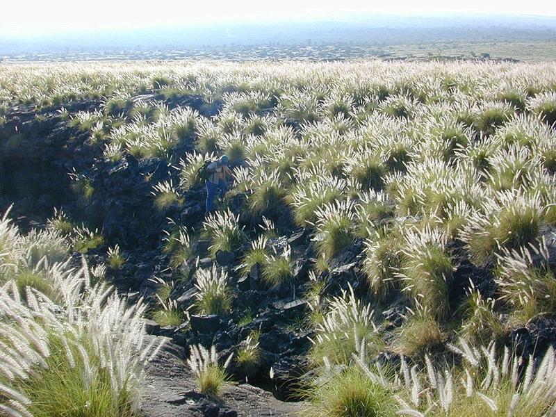 So sieht es auf Hawaii aus: Pennisetum Setaceum hat ganze Landstriche erobert. Foto: Lava flow with Pennisetum setaceum photographed above Kailua-Kona Airport, Hawai'i by Eric Guinther (Marshmanaten.wikipedia) (2005).
