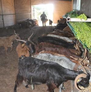 Granja El Topito: Nur zur Fütterung sind die Ziegen im tipp-topp sauberen, mit Kiefernnadeln ausgelegten Stall: Ansonsten hüpfen sie draußen fröhlich durch Wald und Flur. Foto: La Palma 24