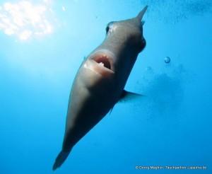 Drückerfische: sehen lustig aus und fressen Seeigel! Foto: Georg Maghon
