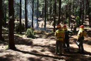 Typisch Kanarenkiefer: Die Stämme sind nach den Waldbränden schwarz, aber sie treiben schon wieder aus. Foto: Medio Ambiente La Palma