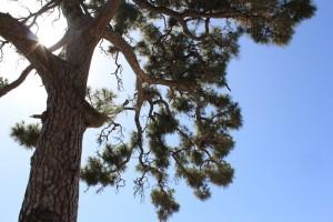 Alte Kanarenkiefer an der Straße nach Fuencaliente: brannte 2012 und ist heute schon wieder grün. Foto: La Palma 24