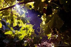 Die Trauben im Süden von La Palma sind reif: Die Weinlese kann beginnen. Foto: Montserrat Alejandre