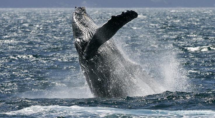 Wale und Delfine: Schutzzonen helfen, dass uns die Meeressäuger auch in Zukunft erhalten bleiben. Foto: Greenpeace Spanien