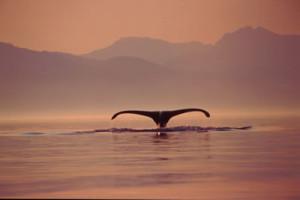 Wale... Foto: WDC/Duncan Murell