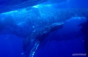 Im vergangenen Jahrhundert wurden mehr als drei Millionen Wale gefangen und getötet: Die Freunde der Meeressäuger fordern deshalb, den kompletten Südatlantik als Schutzzone auszuweisen. Foto: Greenpeace Spanien