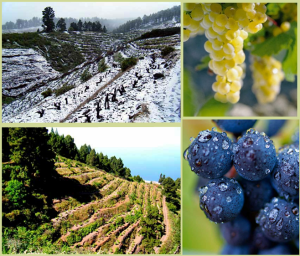 Weinberge über den Wolken im Nordwesten der Kanareninsel La Palma: Hier wachsen die ausgezeichneten Trauben, die dem Vega Norte seine besondere und oftmals frische Note geben. Foto: SAT Bodegas Noroeste