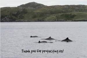 Schweinswale vor der schottischen Küste: jetzt teilweise geschützt. Foto: WDC