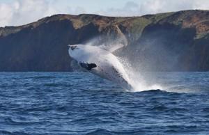 Wale werden nicht nur von Japan in großem Stil gejagt: Auch Island und Grönland