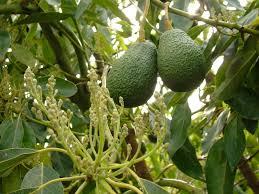 Avocados: heißen auf La Palma aguacate und werden immer erfolgreicher.
