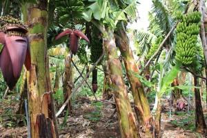 platanologico-puerto-naos-bananen1