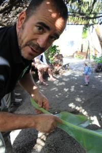 Fran zeigt weiße Fliegen auf einem Bananenblatt: locken Marienkäfer an. Foto: La Palma 24