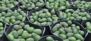 Avocados von La Palma: Immer mehr der wohlschmeckenden Butterfrüchte werden auf der Insel angebaut.