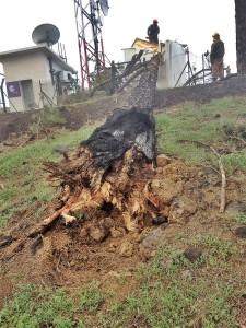 Verkohlter Wurzelbereich einer vom Waldbrand betroffenen Kanarenkiefer: Dieser Baum fiel beim Sturm vor einigen Tagen auf ein Häuschen mit Kommunikationseinrichtungen. Foto: Fuencaliente
