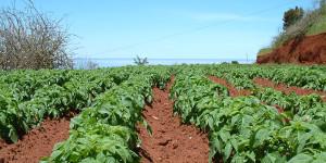 Kartoffelanbau auf La Palma: lokale Produkte werden auch auf der Insel immer beliebter. Foto: Garafía