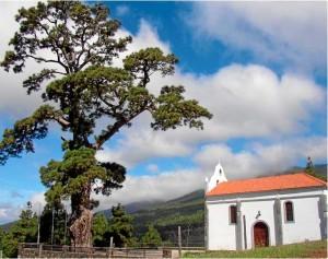 Die geschätzt 800 Jahre alte Pino de La Virgen oberhalb von El Paso: Der Baum ist krank und soll gerettet werden. Foto: Gobierno de Canarias