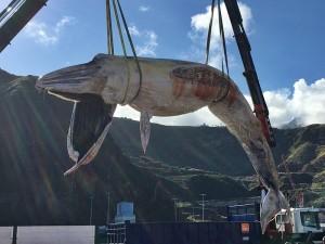 Toter Wal wurde im Nordosten von La Palma angeschwemmt: Meeresbiologe untersucht nun die Ursache.
