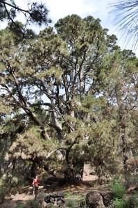 Gigantische Kanarenkiefern: säumen den neuen Wanderweg in der Caldera.