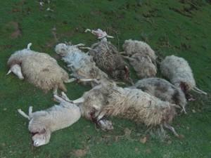 In Gefahr durch verwilderte Hunde: palmerische Schafe. Foto: Verband