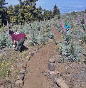Rosa Tajinasten auf dem Roque: Studenten legen einen Weg für Pflanzenfans an. Foto: Caldera Nationalparkverwaltung