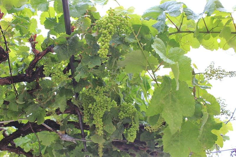 Regen tut den Trauben gut: Auch die Weingärtner haben sich noch etwas mehr Wasser vom Himmel gewünscht. Foto: La Palma 24