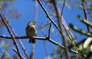 kanarienvogel-michael-kreikenbom