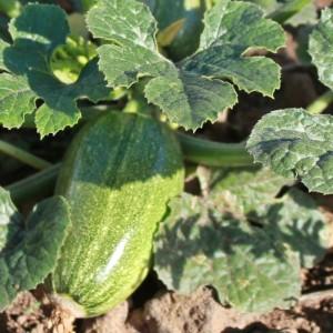 zucchini2-la-palma-24
