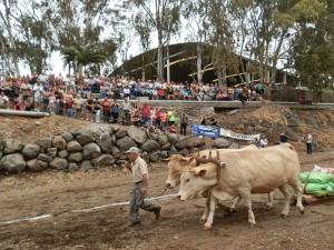 Auch am 24. Juni 2017: Viehmarkt und Ochsenziehen bei der Halle am südlichen Stadtausgang von Los Llanos. Foto: Stadt