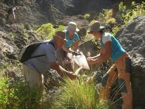 So ist es richtig: Die Asociación Abeque aus Teneriffa hat schon viele Anti-Rabogato-Aktionen durchgeführt und Tüten dabei, damit die Samen nicht umherfliegen können. Foto: Asociación Abeque