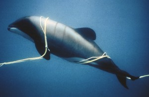 Verhedderter delfín en cuerdas: