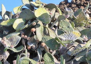 """Von der Cochinilla Mejicana befallene Opuntien: Die """"Ohren"""" sind voll von den Schildläusen und sterben recht schnell vollständig ab. Foto: La Palma 24"""