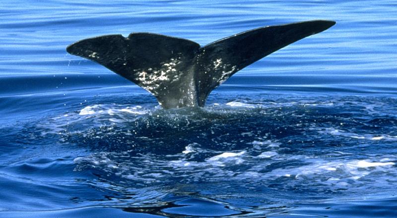 Wale und Delfine: Wer die Meeressäuger auch in Zukunft beobachten will, muss sich schon heute um ihren Schutz Gedanken machen. Foto: Airoldi/WDC