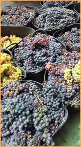 Ordentliches Ergebnis: Nach dem schwachen Jahr 2016 fiel die Traubenernte auf La Palma 2017 wesentlich ertragreicher aus. Foto: DO-Kontrollrat