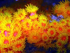 Bioinvasoren reisen um die Welt: Jetzt wurden Korallen in und vor den Häfen von Gran Canaria und Teneriffa entdeckt. Foto: Wikipedia