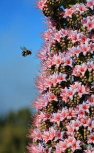 Fleißige Bienen auf La Palma: produzieren super Honig. Foto: Facundo Cabrera