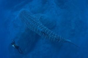Walhai vor Fuencaliente: Luis García von der Asociación La Palma Isla Azul gelangen aufsehenerregende Fotos.