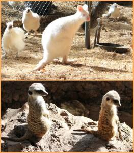 Maro Parque: Hier lebenein seltenes weißes Känguruh und lustige Erdmännchen. Fotos: La Palma 24