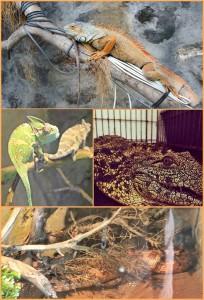 Reptilien im Maro Parque: Chamäleons, Schlangen und ein Krokodil vom Nil. Fotos: La Palma 24/Maro Parque
